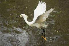 Garceta nevada que arrastra sus pies mientras que vuela en el ` s Everglad de la Florida Imagen de archivo