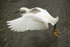 Garceta nevada que arrastra sus pies mientras que vuela en el ` s Everglad de la Florida Fotografía de archivo libre de regalías