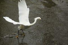 Garceta nevada que arrastra sus pies mientras que vuela en el ` s Everglad de la Florida Imágenes de archivo libres de regalías