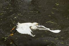 Garceta nevada que coge un pescado en los marismas de la Florida Fotografía de archivo