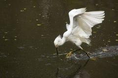 Garceta nevada que coge un pescado en los marismas de la Florida Foto de archivo libre de regalías