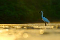 Garceta nevada, thula del Egretta, en el hábitat de la costa de la naturaleza, luz en la salida del sol de la mañana, dominical,  foto de archivo