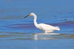 Garceta nevada, thula del Egretta, en el pájaro de la costa con el mar azul marino Garza en el agua, Costa Rica Primera luz con e fotos de archivo