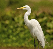 Garceta: Pájaro agraciado blanco Fotografía de archivo libre de regalías