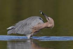 Garceta rojiza que somete un pequeño pescado - el condado de Pinellas, la Florida Imagen de archivo libre de regalías