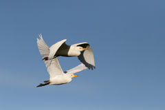 Garcetas blancas en vuelo Imágenes de archivo libres de regalías
