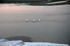Garcetas en los riverbanks del Duero en la puesta del sol Foto de archivo