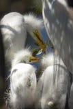 Garcetas jovenes en una jerarquía en una colonia de grajos en la Florida Imagen de archivo libre de regalías
