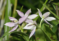 Garcia's Prostechea Orchid Royalty Free Stock Images