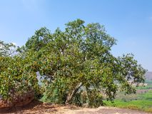 Garcinia cowa, an evergreen trees and shrubs usually found across tropical forest royalty free stock photo