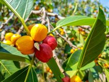 Garcinia cowa, an evergreen trees and shrubs usually found across tropical forest stock photo