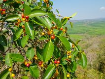 Garcinia cowa, an evergreen trees and shrubs usually found across tropical forest stock photography