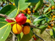 Garcinia cowa, an evergreen trees and shrubs usually found across tropical forest royalty free stock photos