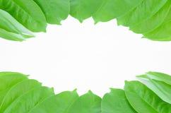Garcinia cowa roxb. stock photo