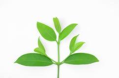 Garcinia cowa roxb. royalty free stock photos