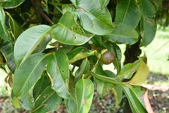 Garcinia mangostana Fotografie Stock
