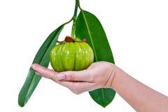 Garcyni cambogia świeża owoc na ludzkiej ręce, odosobnionej na bielu Zdjęcie Stock