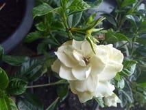 Gardénia blanc avec les feuilles brillantes vertes Photographie stock
