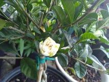 Gardénia blanc en fleur dans le pot Images stock