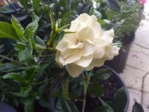 Gardénia blanc en fleur dans le pot Photo stock
