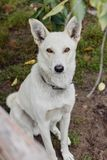 Garde blanche de chien images libres de droits