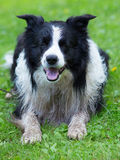 Garde de border collie photo libre de droits