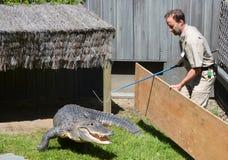 Garde de l'essai de zoo de Granby pour changer un alligator de et une clôture photographie stock
