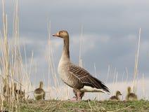 Garde de la mère d'oie cendrée photo libre de droits