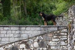 Garde de position de chien de chasse sur un mur photos libres de droits