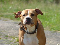 Garde du chien de pitbull Photos stock