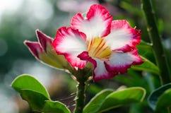 Garde et soleil blancs de floraison de Phu Echea de couleur de fleurs d'azalée Photographie stock libre de droits