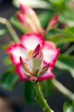 Garde et soleil blancs de floraison de Phu Echea de couleur de fleurs d'azalée Photographie stock