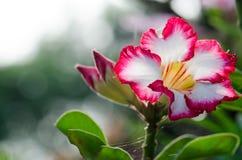 Garde et soleil blancs de floraison de Phu Echea de couleur de fleurs d'azalée Photo stock