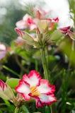 Garde et soleil blancs de floraison de Phu Echea de couleur de fleurs d'azalée Images libres de droits