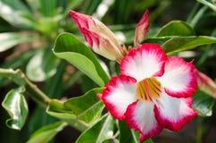 Garde et soleil blancs de floraison de Phu Echea de couleur de fleurs d'azalée Photos stock
