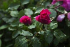 Garde róże Fotografia Royalty Free