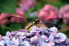 In The Garden. A close-up of a dragonfly sitting on a pink/blue hydrangea flower Stock Photography