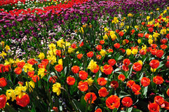 Garden. Of flowers with tulips Royalty Free Stock Photography