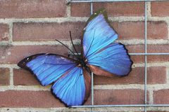 Morpho butterfly accessory. Butterfly on a wall of stone stock images