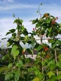 Vegetable garden: allotment beans royalty free stock photo