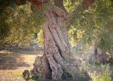 Garden of ancient olive trees. Centennial olive in a farm in Puglia, Fasano, Italy,DOF Royalty Free Stock Image