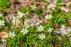 Garden with anemone flowers. In the springtime stock photo