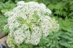 Garden Angelica flower Royalty Free Stock Images