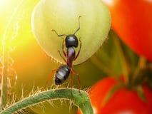 Garden ant checking tomatos. Garden ant checking harvest of tomatos stock photos