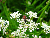 Garden ant enjoys flower. Small garden insect ant enjoys white flower stock photos