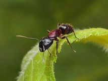Garden ant on a leaf. Garden ant sitting on green leaf Stock Images