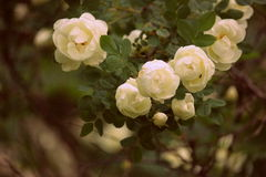 Garden antic white roses. Beautiful garden flowers: white roses rose rosa on brush antic stock image