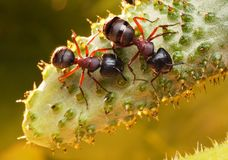 Garden ants on cucumber Royalty Free Stock Photos