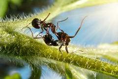 Garden ants fight on green leaf under sun. Extreme macro action, fight of black garden ants Royalty Free Stock Photo