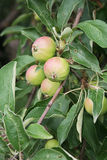 Garden Apple. Sing green grow the plant a vegetable garden ovary leaves Stock Image